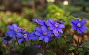 Picture anemone, bokeh, anemone