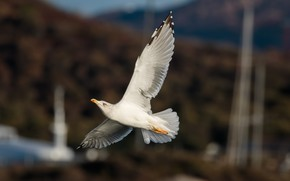 Picture wings, Seagull, flies