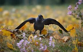 Picture autumn, nature, jackdaw, birds. Park