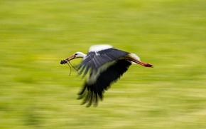 Picture bird, stork, flight