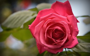 Picture flower, leaves, flowers, background, rose, petals, garden, Bud, scarlet