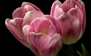 Wallpaper background, tulips, flowers