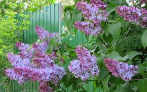 Picture flowers, lilac, lilac, spring 2018, Mamala ©