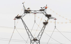 Picture birds, nature, power lines, storks