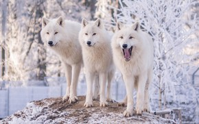 Wallpaper winter, frost, snow, trees, nature, wolf, three, wolves, white, three, zoo, polar