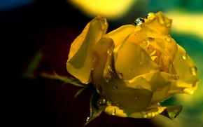 Picture drops, light, Rosa, background, dark, rose, petals, Bud, yellow
