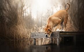 Picture bridge, river, dog