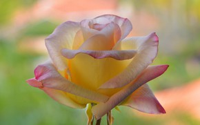 Picture macro, background, rose, beautiful