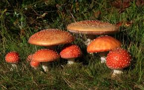 Picture grass, mushrooms, Amanita