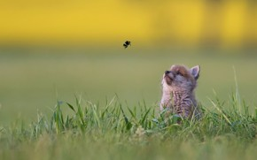 Wallpaper grass, background, baby, bumblebee, bokeh, Fox, familiarity