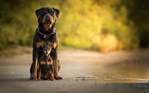 Picture bokeh, Miniature Pinscher, dogs, Rottweiler