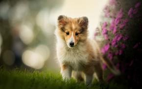 Picture flowers, dog, puppy, bokeh, Sheltie, Shetland Sheepdog