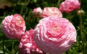 Picture flowers, pink, lush, Ranunculus, Asian, Buttercup