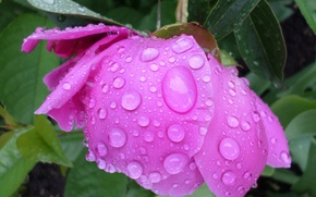 Picture the rain, flower, drops, may, peony