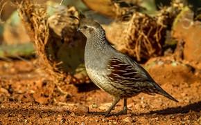 Picture bird, female, common quail crested