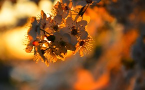 Picture the evening, blur, flowering, branch of Apple