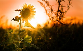 Picture sunset, nature, sunflower