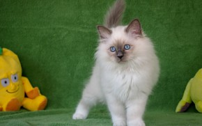 Picture kitty, toy, fluffy, Ragdoll
