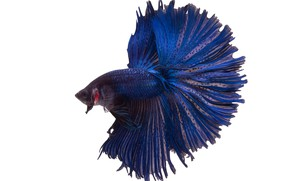 Picture blue, beautiful, fish
