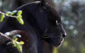 Picture face, portrait, predator, Jaguar, profile, wild cat, black Panther