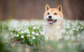 Picture language, look, face, flowers, nature, Park, background, glade, portrait, dog, spring, blur, snowdrops, puppy, handsome, …
