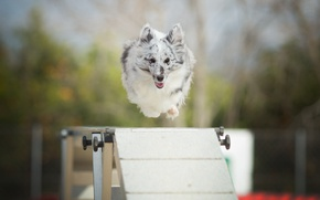 Picture jump, dog, barrier