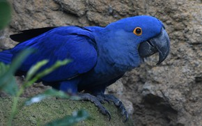 Picture blue, bird, parrot, Ara