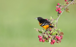 Picture flowers, background, bird, spring, Apple, buds, Baltimore colored troupial, Baltimore Oriole
