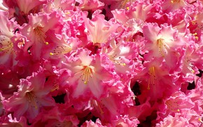 Picture pink, Flowers, flowering