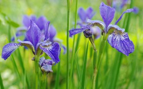 Picture summer, flowers, nature, beauty, plants, irises, cottage, June, flora, blue color, nasekomye