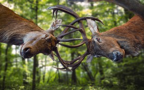 Picture greens, forest, trees, background, horns, battle, the battle, deer, two, muzzle, bokeh, the fight