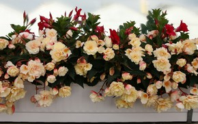 Picture flowers, a lot, begonia