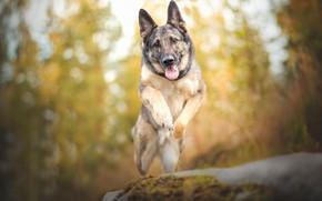 Picture jump, dog, bokeh, shepherd