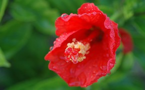 Picture drops, red, Flower, Hibiscus