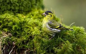 Picture bird, moss, Chizh