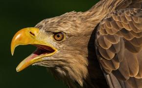Picture background, bird, predator, feathers, beak, hawk, White-tailed eagle