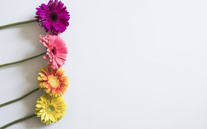 Wallpaper background, Gerbera, flowers