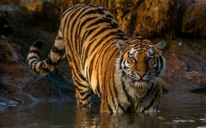 Wallpaper in the water, tiger, predator, wet, striped