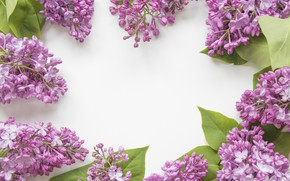 Wallpaper flowers, white background, lilac
