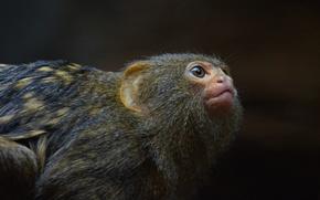 Picture look, muzzle, monkey, monkey