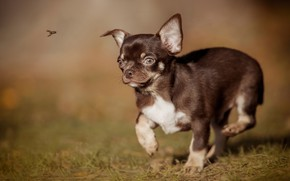 Picture insect, walk, bokeh, doggie, Chihuahua, dog