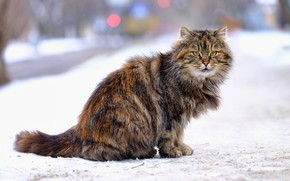 Picture winter, road, cat, cat, look, snow, the city, grey, background, street, fluffy, sitting, striped, Tomcat, …