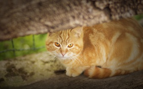 Picture red, red cat, look, cat