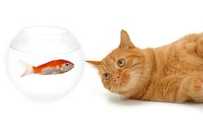 Picture cat, mustache, look, aquarium, fish, red, muzzle, white background, lies