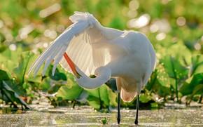 Picture water, bird, wing, Heron, bokeh, Great white egret