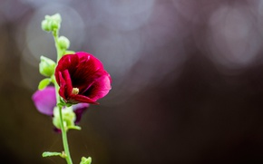 Picture nature, petals, stem, mallow