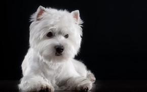 Picture background, baby, Puppy, The West highland white Terrier