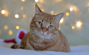 Wallpaper cat, cat, face, lights, background, holiday, new year, portrait, red, bed, lies, bokeh