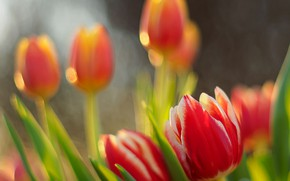Picture spring, meadow, tulips