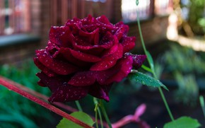 Picture Drops, Rose, Rose, Drops